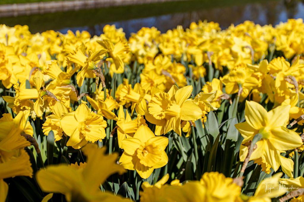22 tulip7