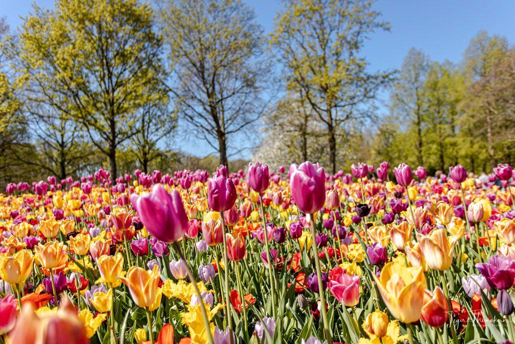 02 tulip6