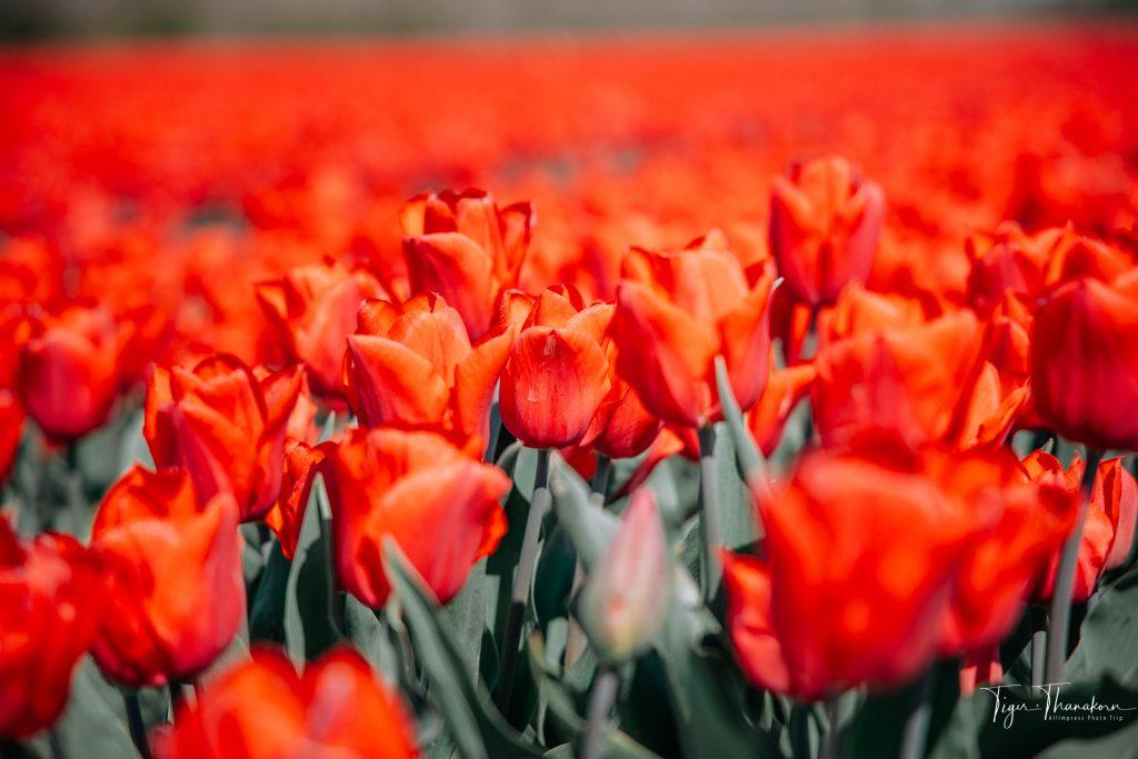 03 tulip4